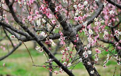 寻找春天---南京梅花山,梅花吐艳故园中